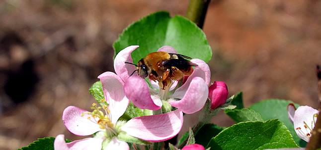 Biodiversidade conservada, com maior densidade de polinizadores, aumenta rendimento agrícola em pequenas e grandes propriedades