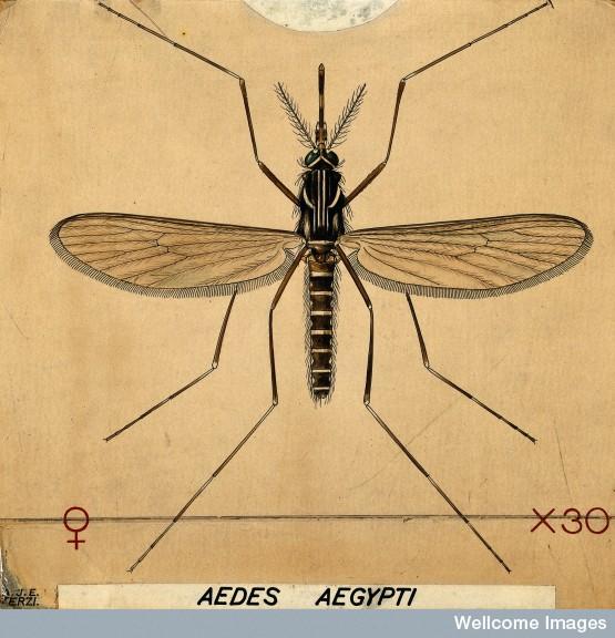 Cientistas brasileiros correm para controlar o Aedes aegypti e combater as doenças que o mosquito transmite
