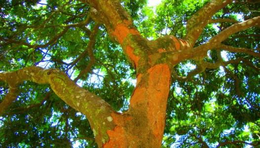 A beleza invisível da biodiversidade: brasilina e brasileina, a cor vermelha do pau brasil