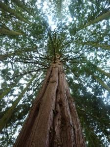redwood-249536_960_720