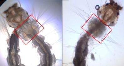 Biolarvicida obtido do bagaço da cana mata larvas de Aedes aegypti
