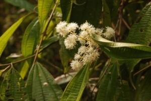Pesquisadores da University of Texas em Austin, nos EUA, em colaboração com colegas da USP, constatam que Miconia affinis mantém alta diversidade e fluxo genético entre fragmentos florestais (Flor de Miconia affinis/Antonio R. Castilla)