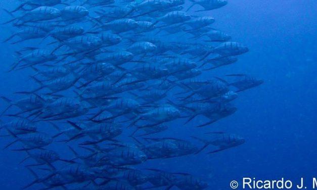 Um clic no Recife dos Cascos, e o Projeto Corais da Baía obteve a imagem do cardume de pampos antes que fugissem