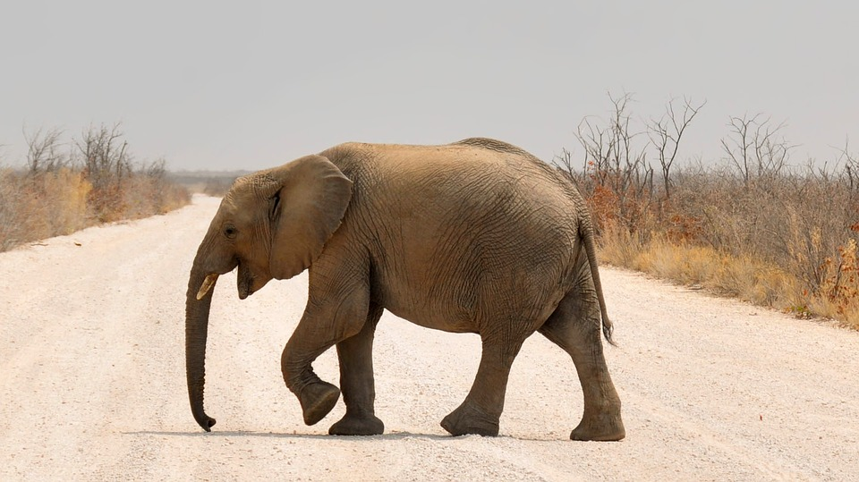 Em sete anos, a África perdeu 30% de sua população de elefantes