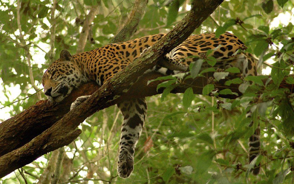 Onças vivem em árvores durante as cheias na Amazônia