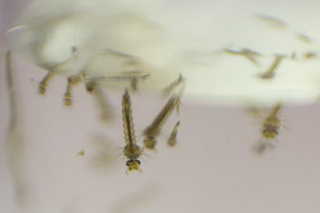 Larvas de Aedes aegypti