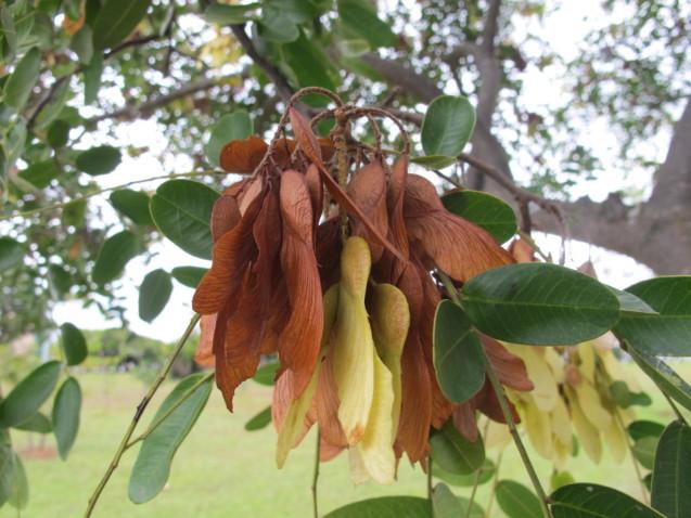 Detalhe das sementes do amendoinzeiro