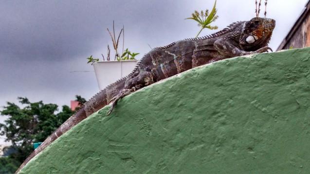Iguana, um dos répteis mapeados