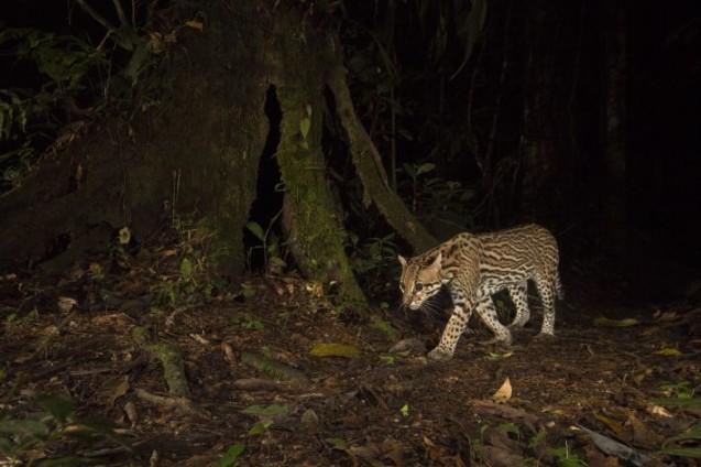 Jaguatirica caminha por trilha em floresta recuperada no Peru