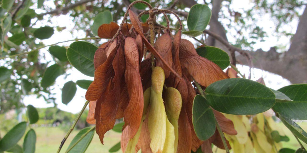 O amendoinzeiro, quem diria, tem compostos com potencial para combater o vírus da hepatite C