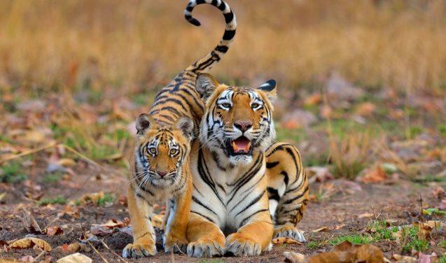 Foto vence categoria de concurso britânico com uma dupla de tigres