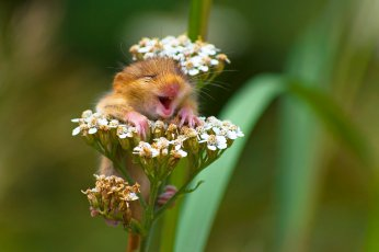 WINNER of the Alex Walker's Serian On The Land category The Laughing Dormouse by Andrea Zampatti Andrea ZampattiComedy Wildlife Photo Awards