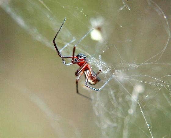 """Aranhas podem usar eletricidade no ar para """"voar como balões"""""""