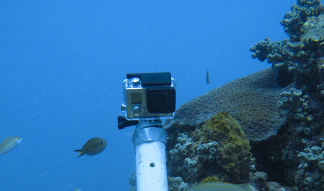 Comprovado: coral-sol invasor alterou interações entre espécies nativas na Bahia
