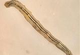 Descoberta substância bioluminescente em larva de mosquito brasileiro