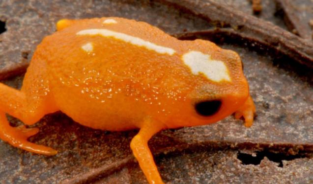 Nova espécie de mini sapo é descoberta em Santa Catarina